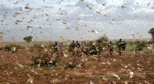 Read more about the article More funding needed to combat locust swarms 'unprecedented in modern times'