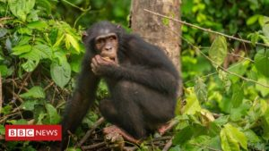 Read more about the article Coronavirus: Fears for future of endangered chimps in Nigeria