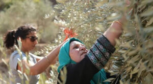 Read more about the article Protect Palestine olive harvest from settler violence, Israel urged |