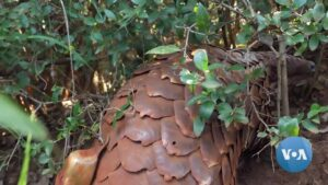 Read more about the article South African Program Aims to Save Smuggled Pangolins | Voice of America