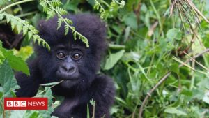 Read more about the article Coronavirus: Great apes on lockdown over threat of disease